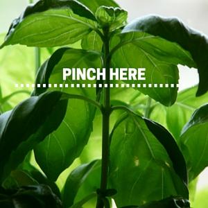Plant Profile Basil Minigarden Us