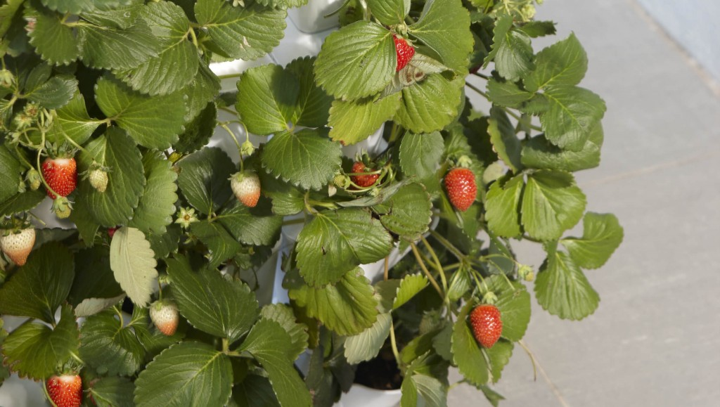 Minigarden Vertical Strawberries Detail