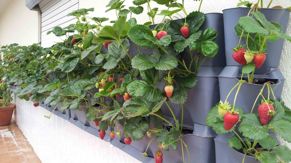 Mounted Strawberry Minigarden