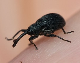 Strawberry Bud Weevil